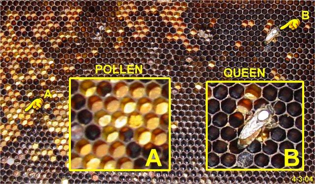 Managing Russian Bees 79